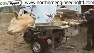 Hoof Trimming a Bull in a CowTipper crush