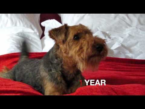 Guus the movie: 5 to 52 weeks (welsh terrier)