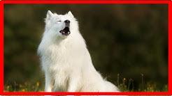 Hund jault ständig: Gründe für Winseln und Jammern
