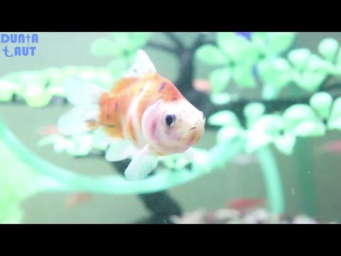 10-jenis-ikan-hias-aquarium-tanpa-mesin-oksigen-atau-aerator