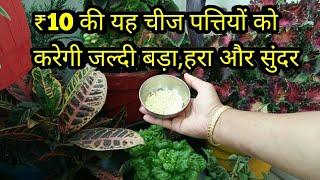 ₹10की यह चीज पत्तियों को बड़ा और सुंदर बनाएं,रंग भी गहरे करें,नियमित प्रयोग करें,anveshas creativity