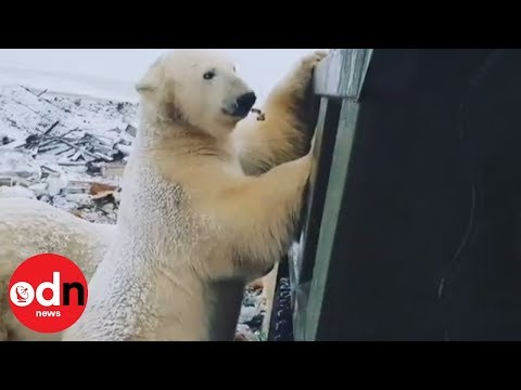 Dozens of polar bears invade Siberian town to scavenge for food Mp3