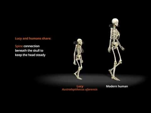 Human Odyssey - Compare the Distinctive Gaits of Lucy and Humans | California Academy of Sciences
