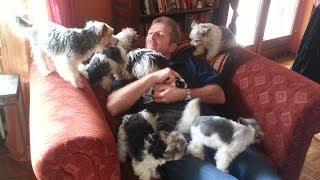 Biewer-yorkshire-terrier Welpen (2 U. 6 Wochen Alt)
