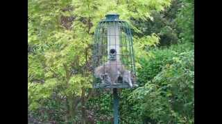 Squirrels In My Squirrel-proof Feeder