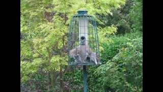 Squirrels In My Squirrel-proof Feeder