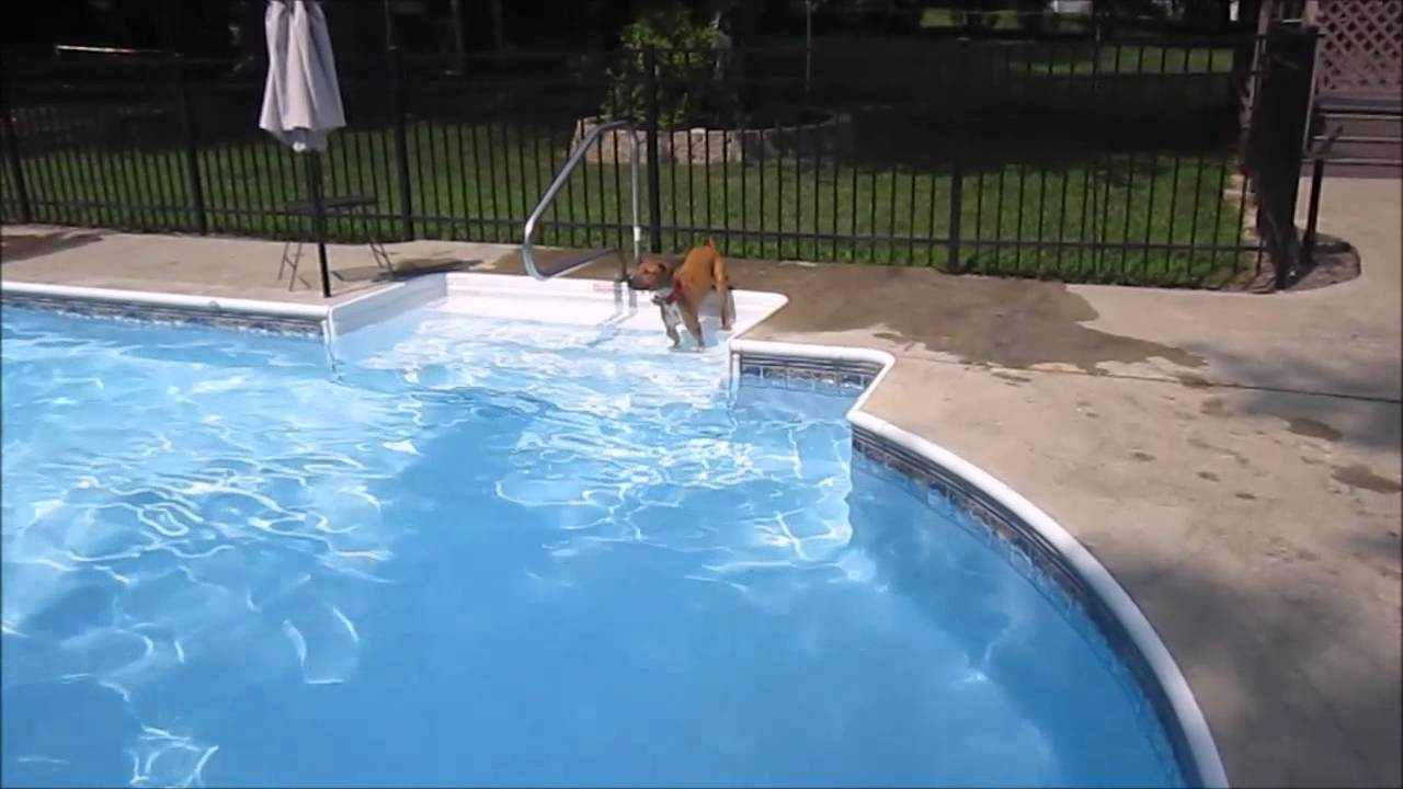 bringing taz an american pitbull terrier to the swimming pool