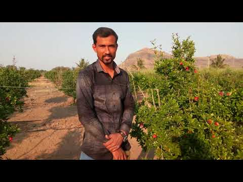 Organic Pomegranate शेतकरी यशोगाथा Sanchay Agro , Pune.