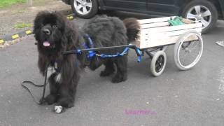 My Newfoundland Dog: Honeybun And Cocobaby Diary 08 To 22 Sep 2015