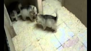 Cuccioli 40gg -