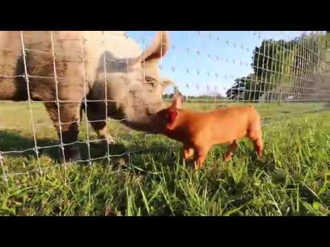 Piglet (Little Dude) Meets Big Pig (Jasper) for the First Time