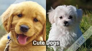 Cute Labrador Dogs
