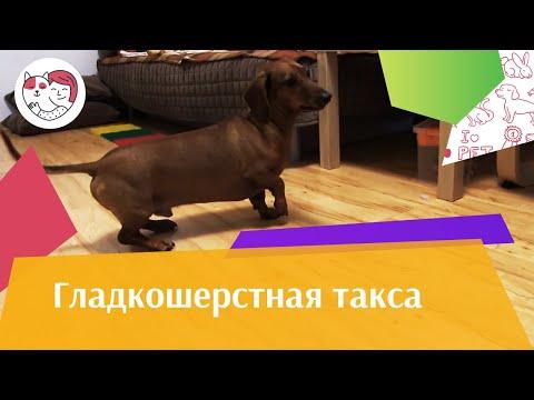 Гладкошерстная такса на  Ilikepet