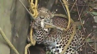 В Индии спасатели вытащили леопарда из колодца (новости) http://9kommentariev.ru/