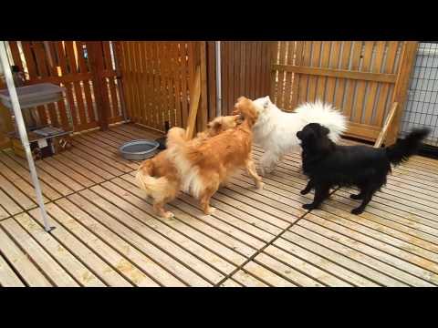 大型犬エリア サモエド君