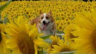 (hd) Sunflowers / ひまわり 20100801 Goro@welsh Corgi
