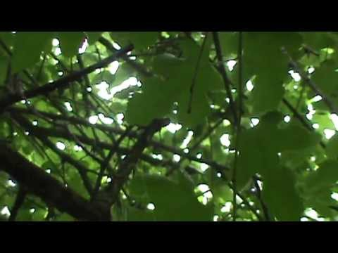 White mulberry tree identification video morus alba youtube white mulberry tree identification video morus alba mightylinksfo
