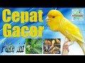 Setting Kenari Bakalan Cepat Gacor  Mp3 - Mp4 Download