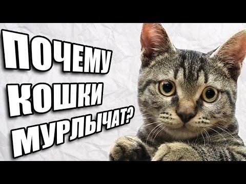 Как коты мурлыкают