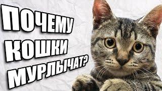 видео Почему кошки мурлыкают, когда их гладишь?