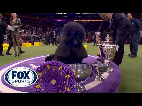 'Siba' the standard poodle wins Best in Show at 2020 Westminster Kennel Club Dog Show   FOX SPORTS