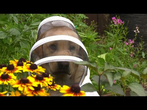 Meet the yellow Labrador with a passion for beekeeping