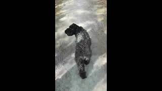Dog walking with kerry blue terriers. spring 2020