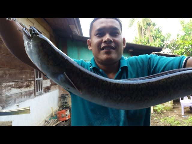 Download 50 Koleksi Gambar Ikan Dundung HD Terbaru