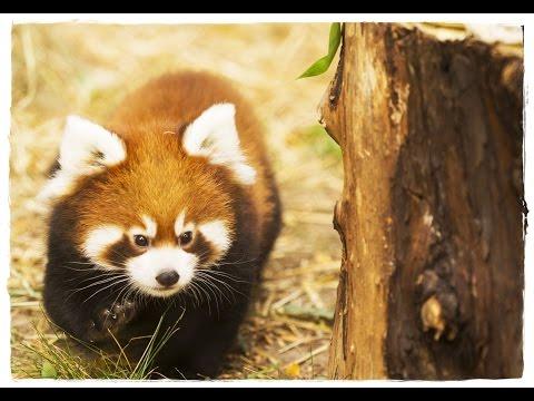 Красная панда в домашних условиях