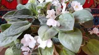 Белые фиалки. Սպիտակ մանուշակ. White violets