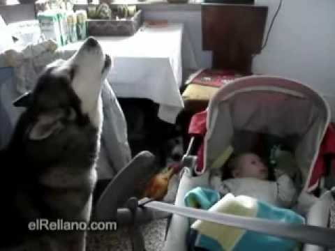 Wolf dog sings to a baby to stop his cry