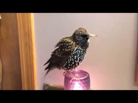 European Starling mimics words (