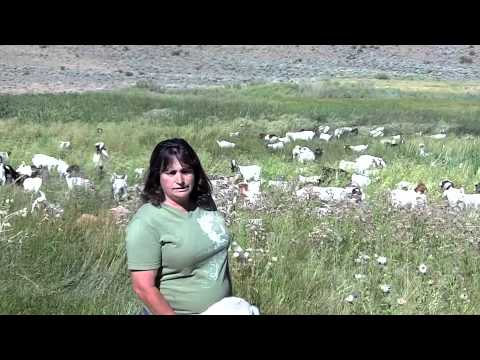 Nevada Goats | Noxious Weed Control