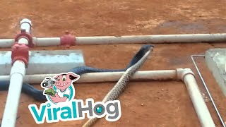 Blue Indigo Vs. Rattlesnake