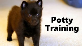 How To Potty Train A Schipperke Puppy - Schipperke House Training Tips - Schipperke Puppies