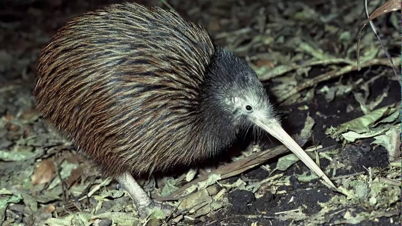 Kiwi Marron De La Isla Norte Cantando Sonido Para Llamar El Mejor