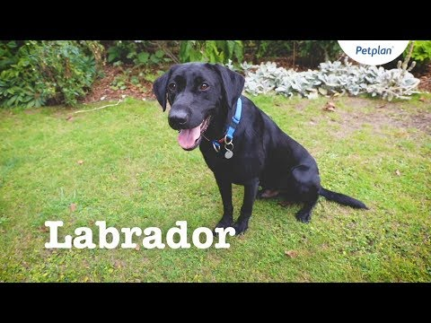 Labrador Puppies & Dogs | Breed Facts & Information | Petplan