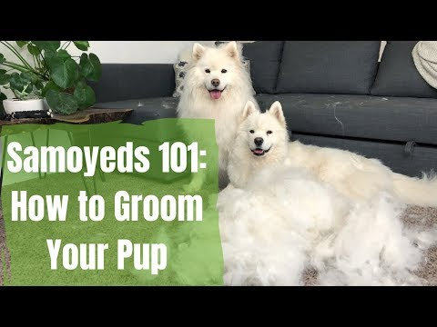 Samoyeds 101: How to Brush Your Dog | How to Groom a Pup with Excessive Hair