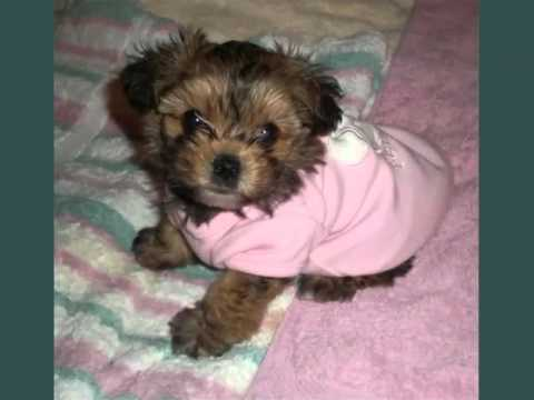 Yorkie Poo Puppies Set Of Dog Breed Picture Ideas Youtube