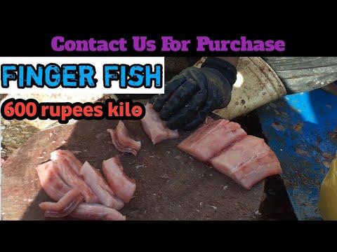 Fish Video   Finger Fish   Rs 600 Per Kilo Finger   Amroz Fish