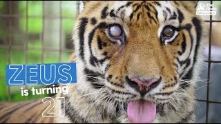 Rescued Tiger Celebrates 21st Birthday With People Who Love Him | The Dodo Party Animals thumbnail