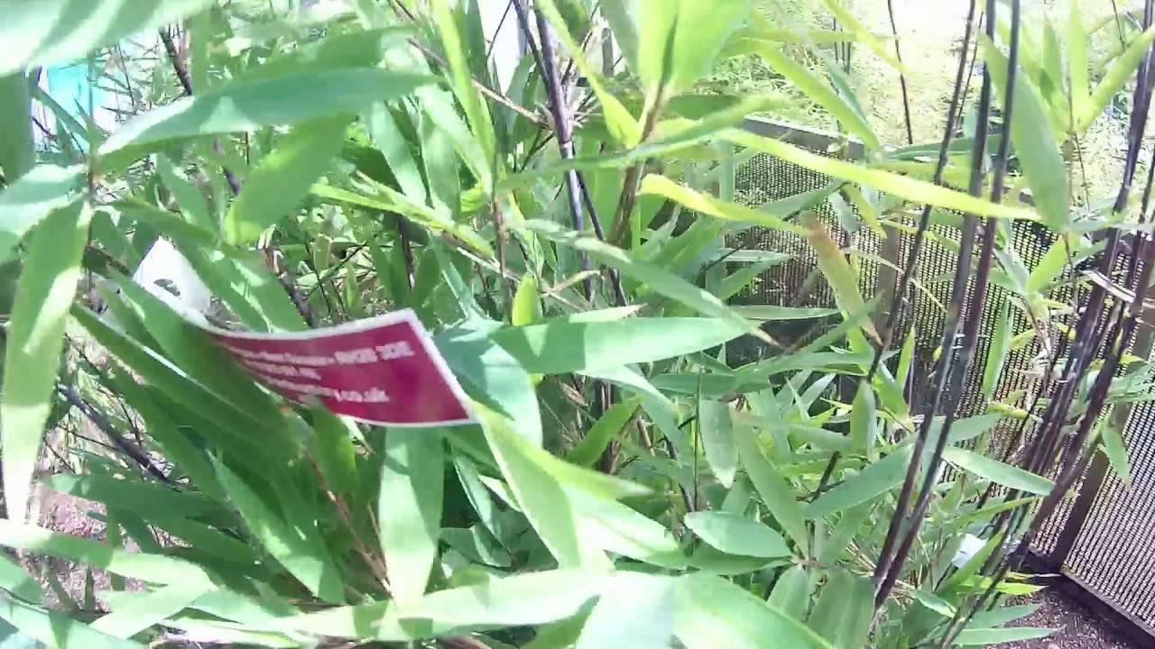 Fargesia nitida \'Black Pearl\' 10L Pot at Big Plant Nursery in West ...
