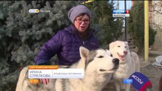 В Светлоярском районе выращивают собак породы хаски