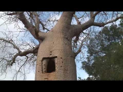 Baobabs de Madagascar - Baobabs, réservoirs de vie