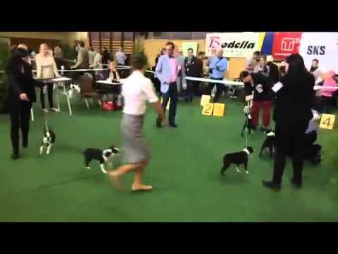 CACIB Łódź 02.05.2015 Boston Terrier