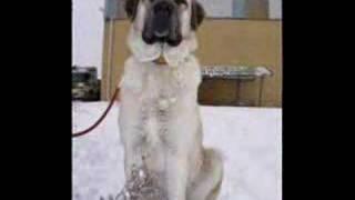 Kurdish Shepherd And Fighter Dog Kangal  Sivas Kurdistan 58