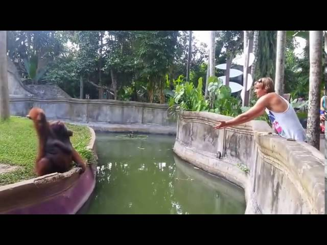A Man Tosses A Treat At An Orangutan What Happens Next Has Everyone Laughing In Disbelief