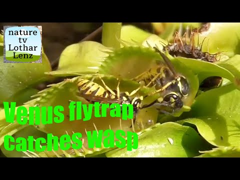 Pablo - Venus Flytrap Catching Yellow Jackets