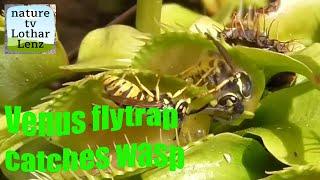 Venus flydrap catches yellow jackets. Venusfliegenfalle fängt Wespen