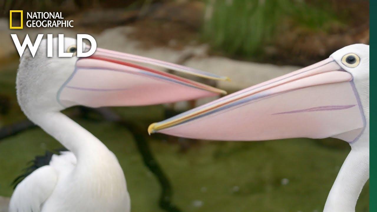 Download Australian Pelicans Take a Walk   Secrets of the Zoo: Down Under